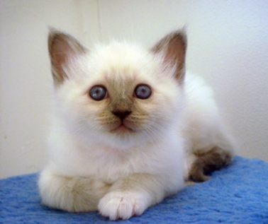 chaton blue point